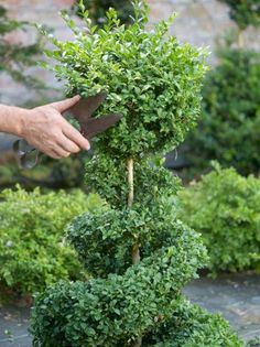 Learn how to do this! Spiral Topiary Crowned by Ball