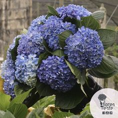 After 17 years of experience, this is our result #hydrangeas #flowers #Colombia #tradition
