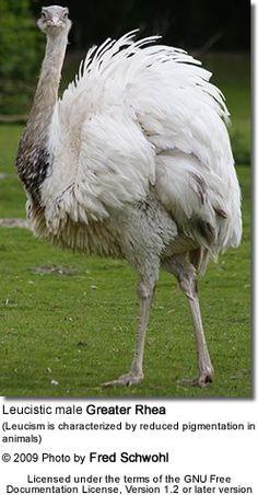 http://www.avianweb.com/images/birds/ratites/