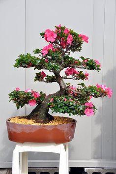 Bonsai - Azalea