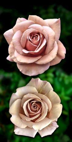 Beautiful Rose Flowers, Love Rose, Flowers Nature, Exotic Flowers, Love Flowers, My Flower, Flower Art, Lavender Roses, Purple Roses