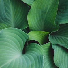 Hosta Leaves Fine Art Print, Green Wall Art, Hosta Photograph