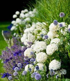 Garden border of Hydrangea Annabelle with Agapanthus, Salvia 'Mainacht' and Echinops ritro (globe thistle)  What a beautiful combination!