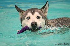 Siberian Husky summer fun swimming in the pool