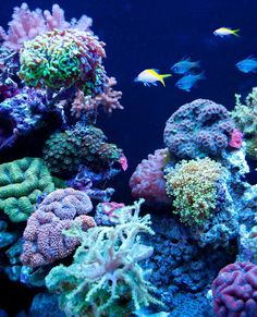 Phishy Business reef aquarium is an exemplary coral display
