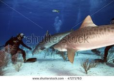 stock photo : A diver making friends with a pair of tiget sharks.  Photo by Greg Amptman