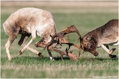 North Norfolk Fallow Bucks fighting for dominance during the annual rut