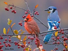 Cardinal & Blue Jay in Crabapple Tree Pretty Birds, Love Birds, Beautiful Birds, Animals Beautiful, Bird Pictures, Animal Pictures, Animals And Pets, Cute Animals, Blue Jay Bird