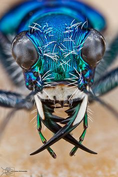 Festive Tiger Beetle - Cicindela scutellaris by ColinHuttonPhoto on DeviantArt Cool Insects, Bugs And Insects, Photo Macro, Macro Pictures, Cool Bugs, Insect Photography, Jumping Spider, Macro And Micro, Beetle Bug
