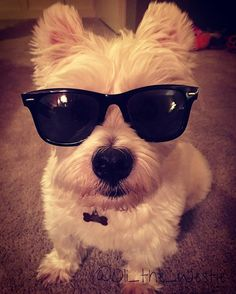 I wear my sunglasses at night #sunglasses #sunglassesatnight #rayban #raybans #dog #dogsofinstagram #dogs #dogstagram #doglover #dogoftheday #doggy #doglovers #dogslife #doglife #westie #westiegram #westiesofinstagram #westies #westielove #westiemoments #westiesarethebest #westiepuppy #westielover #westietude #westielife #ilovemydog #ilovemylife #instadog #instagramdogs #puppy
