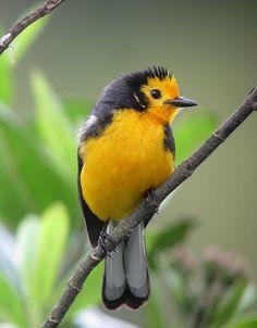 Myioborus ornatus / Abanico cariblanco / Golden-fronted Whitestart | Flickr - Photo Sharing!