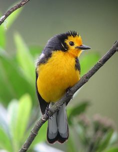 ☀Myioborus ornatus / Abanico cariblanco / Golden-fronted Whitestart