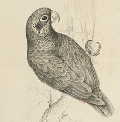 Parrot - graphite and watercolour on lithograph (8)