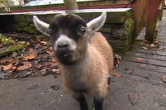 Benji is the friendliest, most loyal goat in all of England.
