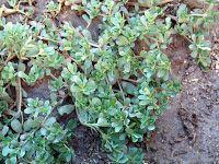 Πιερία: Οι ευεργετικές ιδιότητες της γλιστρίδας Herbs, Plants, Food, Essen, Herb, Meals, Plant, Yemek, Eten