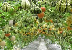 Squash and Gourd Tunnels That will Simply Amaze You!
