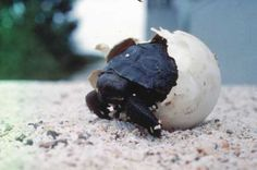 new pictures of galapagos turtles - Bing Images