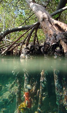 National Park Service image. Prop roots of the red mangrove (Rhizophora mangle) tree create thickets that harbor a wide variety of creatures both above and below the wat…