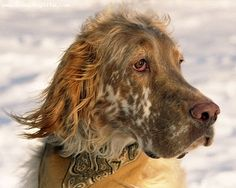 English Setters in risk of extinction