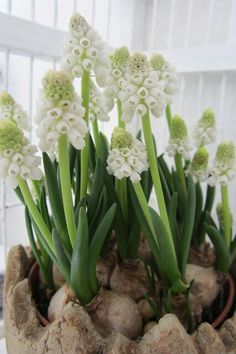 White Muscari, sign of spring
