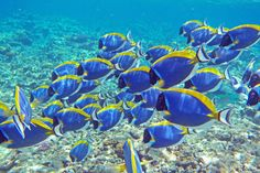 Acanthurus Leucosternon by Sébastien Guéret on 500px Les Seychelles, Seychelles Islands, Save Our Oceans, Kinds Of Birds, Ocean Creatures, Exotic Fish, Sea And Ocean, Freshwater Fish, Ocean Life