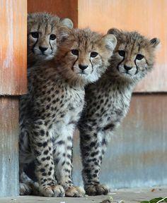 Three hand-raised baby cheetahs examine their new surroundings at the zoo in Rostock via The Telegraph