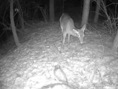 possum scares deer. lol