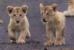 Adorable Lion Cubs Kruger National Park, South Africa by Digitalwild Nature & Wildlife Photography by Hendri Venter