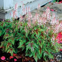Fragrant Blooms and Glorious Striped Foliage! Fragrant Blooms and Glorious Striped Foliage! Shade Perennials, Shade Plants, Cool Plants, Spring Blooms, Spring Flowers, Shade Flowers, Shade Garden, Garden Plants, Pink Garden
