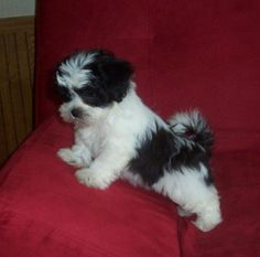 """See our site for additional info on """"shih tzu dog"""". It is an exceptional place to find out more. Teddy Bear Puppies, Havanese Puppies, Cute Dogs And Puppies, Baby Puppies, I Love Dogs, Doggies, Perro Shih Tzu, Shih Tzu Puppy, Shih Tzus"""
