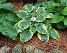 Hosta tokudama 'flavo-circinalis' - front row of hill garden, first on the left - Fox Hill Gardens