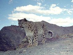 Snow Leopard Conservancy | Advancing community-based stewardship of the snow leopard through education, research and grassroots conservation action.Snow Leopard Conservancy