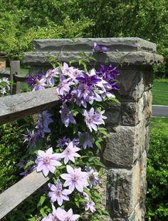 Clematis on rail fence (1) From: Statile and Todd, please visit