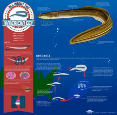 Did you know eels absorb oxygen through their skin and gills, which allows them to move on land for short periods of time? Learn more w/ @PBS Nature.