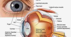 Human Eye Diagram, Eye Anatomy Diagram, Parts Of The Eye, Parts Of Human Eye, Human Anatomy And Physiology, Anatomy Study, Anatomy Drawing, Medical Coding, Nursing