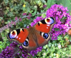 Cute Butterfly, Beautiful Butterflies, Moth, Insects, Dragonflies, Nature, Summer, Lilac, Buddleja Davidii