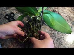 Rot Root Cleaning in Orchids in Full Water Culture - YouTube