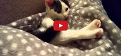 This is So Cute! An Adorable Kitten has Just Discovered her Tail For the First Time! This little kitty is cute AND funny!