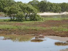 Saltmarsh forms part of a mosaic habitat and has a dynamic relationship with mangrove habitat Habitats, Mosaic, Country Roads, Relationship, Places, Relationships, Mosaics, Lugares, Tile Mosaics