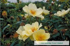 Golden Wings Roses - fully open