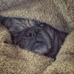 Today's struggle is pulling myself out of this green furry cocoon. I have already accepted defeat so I've got that going for me. . . . . . . . . . #consciouness #larvate #relax #warmth #blanket #heatingpad #udon #udonthefrug #udonthepug #pug #pugsofinstagram #frenchie #frenchbulldog #frug #love #puglife #spoiled #dogs #dogsofinstagram