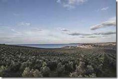 150 ettari di oliveto che si affacciano sul mare di Sicilia L'azienda Planeta pianta altri 13mila alberi di olivo a Capparrina (Menfi), altri 50 ettari che si aggiungono ai 100 già esistenti, formando un oliveto a corpo unico tra i più estesi in Sicilia. #sicilia #menfi #olio #planeta