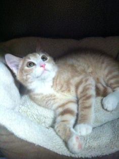 Meet+Coconut,+a+Petfinder+adoptable+Domestic+Short+Hair+Cat+|+Mount+Laurel,+NJ+|+Coconut+is+a+handsome+little+boy+who+was+found+with+his+sister,+Pineapple,+walking+around+the...