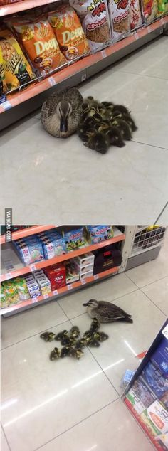 Ducklings with mom in a convenience store in Japan