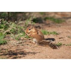 African Ground Squirrel Wildlife Kenya Canvas Art - Joe & Mary Ann McDonald DanitaDelimont (34 x 23)