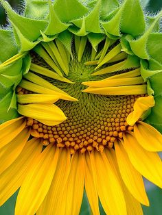 just blooming sunflower