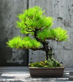 Black Pine Bonsai at The North Carolina Arboretum