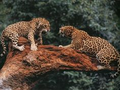 Leopard despute...in other words...they are pissed!  lol