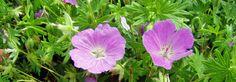 Blut Storchschnabel - Geranium sanguineum, Blüte Jun-Sept / 30cm