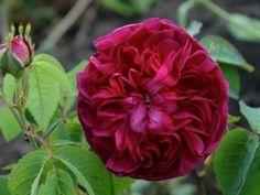 'Charles de Mills' (pre 1790) Gallica rose | Palatine Roses
